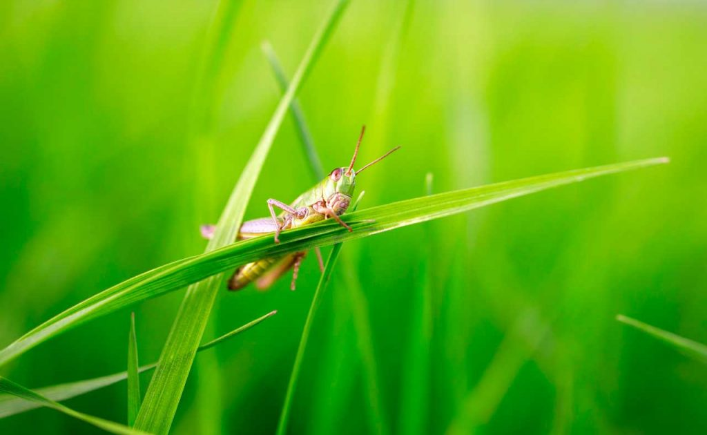 Grasshopper photographed with Canon Eos R